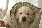 Pillow around dog