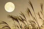 Japanese pampas grass and full moon