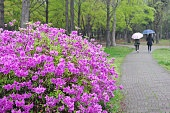 Azaleas and fence in raining day