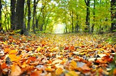 Close-up of fallen leaves on a road through forest