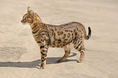 Savannah cat in desert