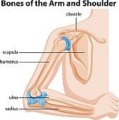 Bones of the arm and shoulder
