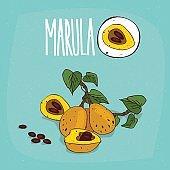 Set of isolated plant Marula fruits herb