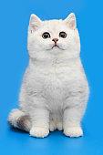 White British kitten on a blue background