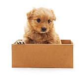 Brown puppy.
