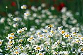 white chamomile flower spring season