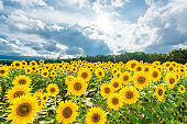 Sunflowers field and cloudy sky