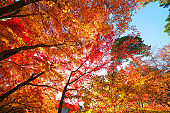 Colorful maple leaf in autumn