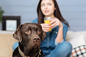 Loyal brown Labrador on guard