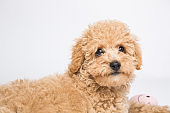 Portrait of a toy poodle in a studio
