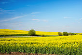 Incredible fun spring landscape with yellow rape field and bush against the sky with bands of clouds