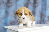Welsh Corgi puppy sitting on chair. looking at camera. on blue background