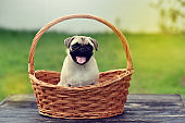 Happy cute Pug