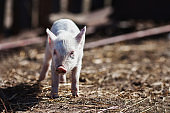 Pigs on the farm. Little piglets. Household. Lovely pets
