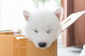 Beautiful siberian puppy