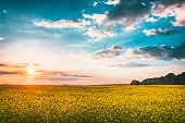 Sunset Sunrise Sky Over Spring Flowering Canola, Rape, Rapeseed, Oilseed Field Meadow Grass. Agricultural Landscape In Yellow Sunlight On Bright Sun At Horizon