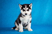 siberian husky studio shoot. isolated on blue