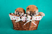 Shiba Inu puppies in a basket on green background. Studio shot