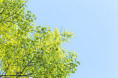 green leaves budding in spring
