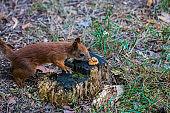 Curious squirrel. Red Squirrel. Squirrel. Forest