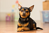 Dog Toy-terrier lies on the floor with crossed paws