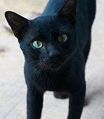 black cat portrait adult age