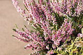 Heather flowers - shalow depth of field