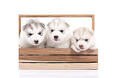 Cute Siberian husky puppy sitting in a wooden crate on white background