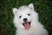 Close up of siberian husky puppy