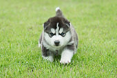 Siberian husky puppy on green grass