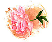 Watercolor drawing of pink peony flower with sepia texture