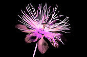 color glass flower isolated , the passion flower