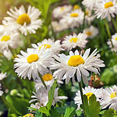 Blooming chamomile. Chamomile flowers