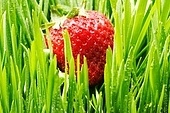 Strawberry in green grass close-up