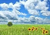 field of grass , sunflowers and beautiful  sky