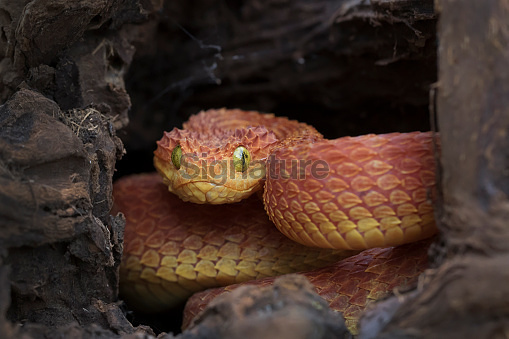 Venomous Bush Viper Snake in Log - Red Phase (533226620