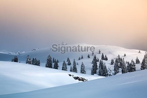 Snowcapped pine trees