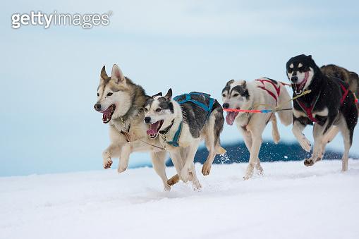 Siberian Huskies in a sleddog race