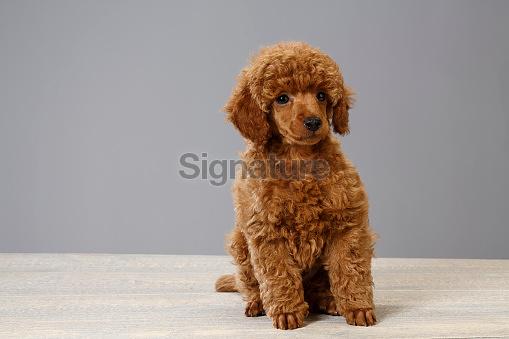 Cute Miniature Poodle