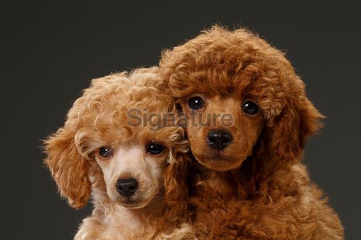 Cute brown miniature poodle