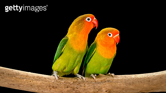 Fischer's lovebirds on branch