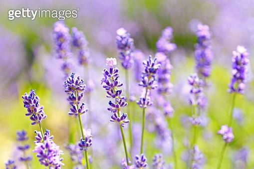 Large bush of lavenders