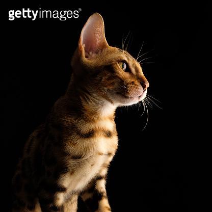 Bengal purebred cat