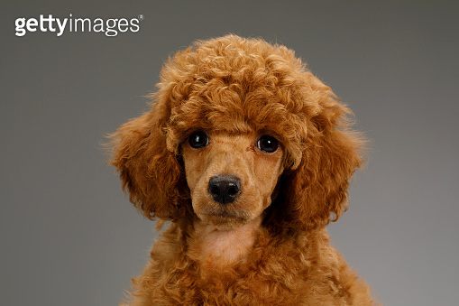 Cute brown miniature poodle puppy