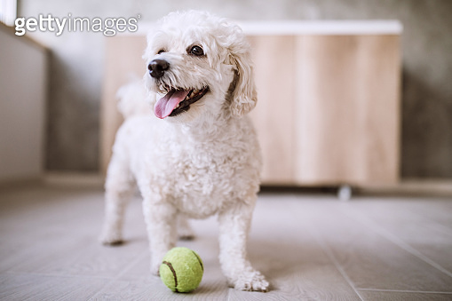 Obedient Puppy Playing With Ball
