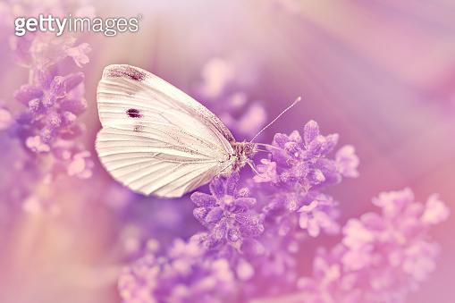 Butterfly on lavender flower