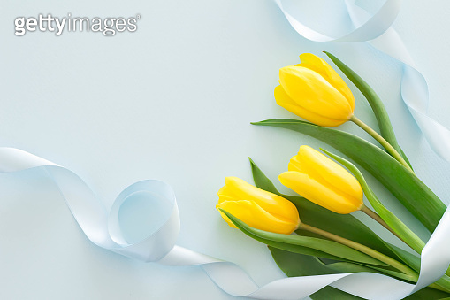 Yellow tulips and blue ribbon