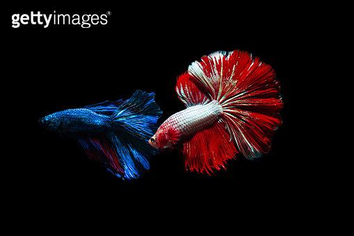 Close up art movement of Betta fish