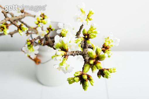 Bunch of cherry blossom branch