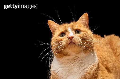 Ginger cat looking curiously at the camera